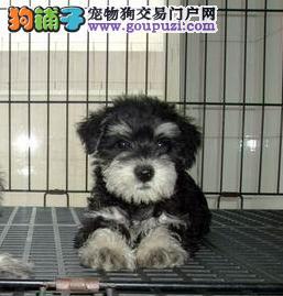 拉萨哪里出售雪纳瑞犬幼犬老头狗雪纳瑞多少钱一只