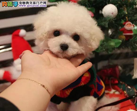 拉萨哪里出售泰迪贵宾犬泰迪幼犬茶杯犬多少钱一只