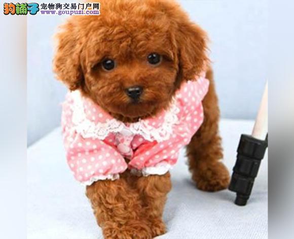 遵义出售纯种泰迪贵宾犬泰迪幼犬娃娃脸大眼睛茶杯犬