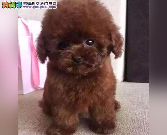 乌鲁木齐出售纯种泰迪贵宾犬泰迪幼犬娃娃脸大眼睛茶杯
