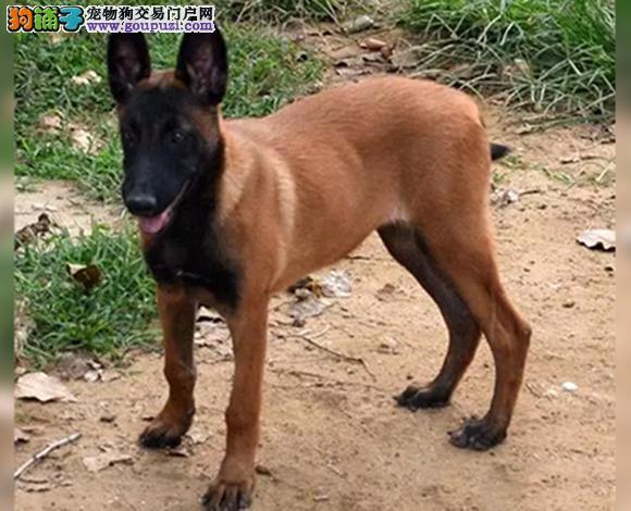 乌鲁木齐出售纯种马犬幼犬弹跳高撕咬狠斗狗护卫犬警犬