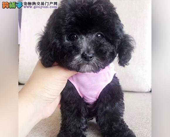 兰州出售纯种泰迪贵宾犬泰迪幼犬娃娃脸大眼睛茶杯犬