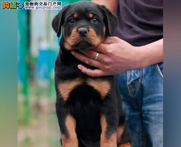 宜宾哪里出售罗威纳犬防暴犬护卫幼犬罗威纳多少钱一只