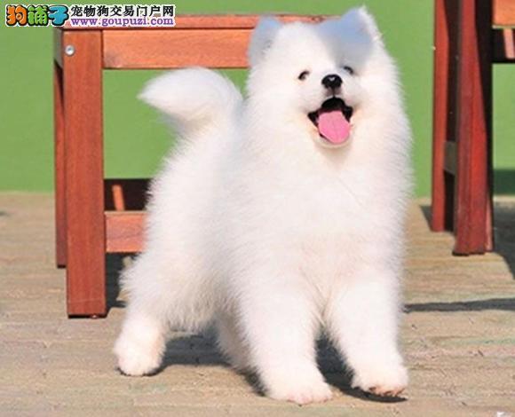 大连出售纯种萨摩耶微笑天使萨摩耶幼犬澳版熊版萨摩耶