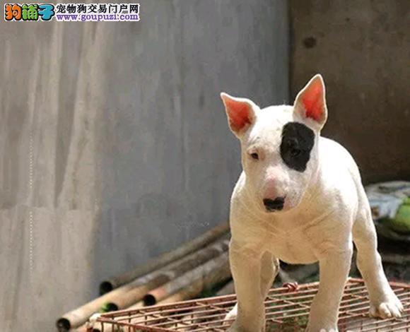 上海哪里出售牛头梗海盗眼子弹头牛头梗幼犬多少钱一只