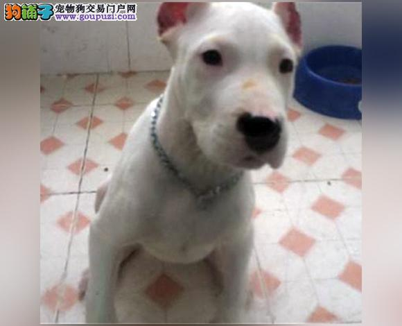 上海哪里出售杜高犬护卫犬猛犬杜高多少钱一只图片