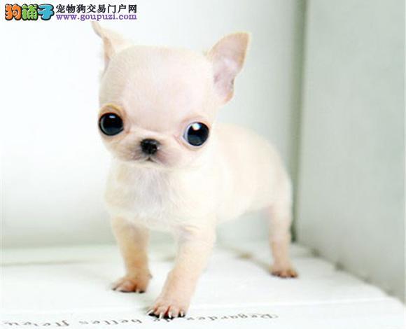 上海哪里出售吉娃娃幼犬大眼睛吉娃娃多少钱一只