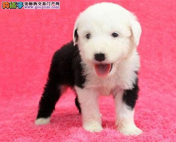 上海出售纯种古牧幼犬白头齐肩通背四蹄踏雪纯种健康