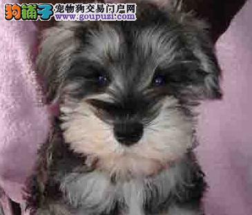 上海哪里出售雪纳瑞犬幼犬老头狗雪纳瑞多少钱一只