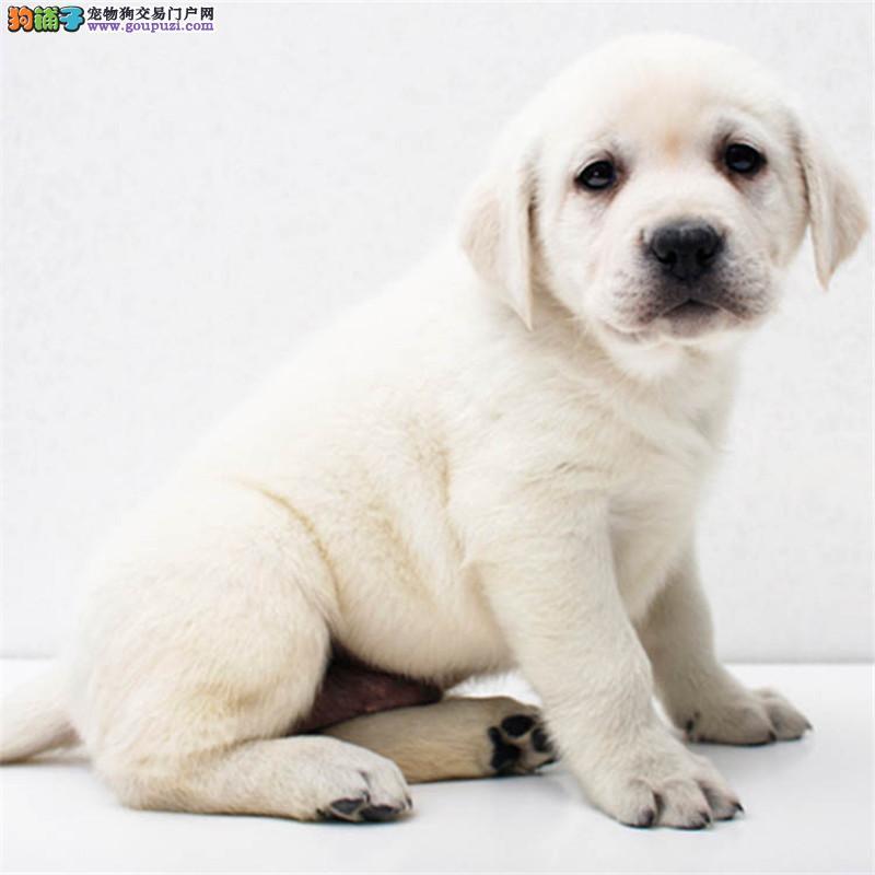 上海出售纯种拉布拉多犬拉拉幼犬导盲犬家养宠物狗狗