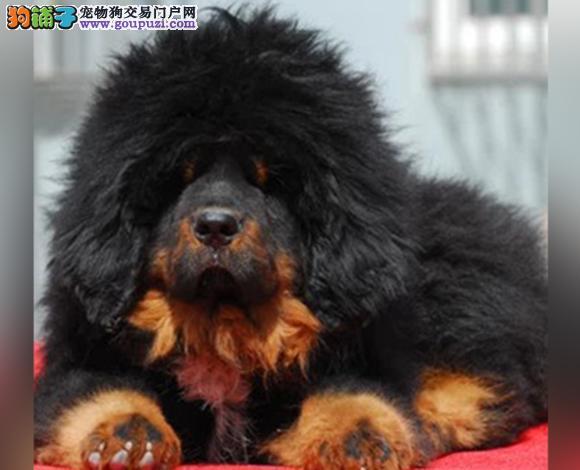 天津哪里出售虎头狮头藏獒犬猛犬藏獒多少钱一只