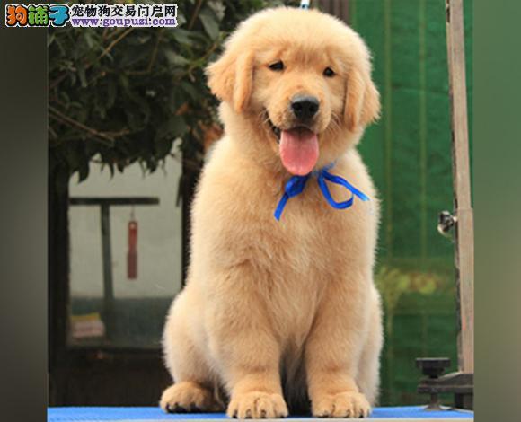 天津出售纯种金毛犬幼犬黄金猎犬巡回犬聪明温顺金毛犬