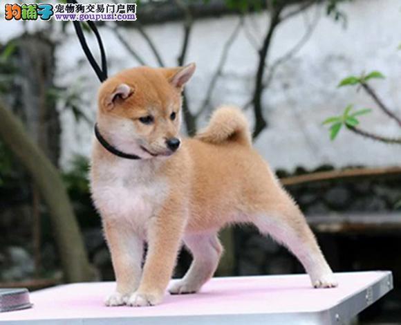 天津哪里出售柴犬日系柴犬幼犬柴犬多少钱一只图片视频