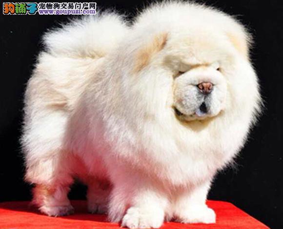 天津哪里出售松狮犬幼犬肉嘴紫舌松狮多少钱一只图片