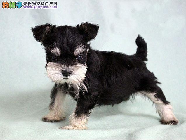 天津哪里出售雪纳瑞犬幼犬老头狗雪纳瑞多少钱一只