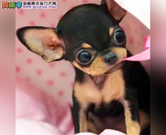 徐州哪里出售吉娃娃幼犬大眼睛吉娃娃多少钱一只