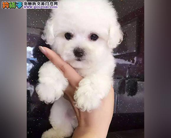 徐州哪里出售比熊犬幼犬法国比熊多少钱一只卷毛比熊