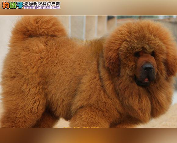 徐州哪里出售虎头狮头藏獒犬猛犬藏獒多少钱一只