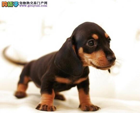 徐州出售腊肠犬幼犬小短腿铁包金哪里买腊肠犬多少钱