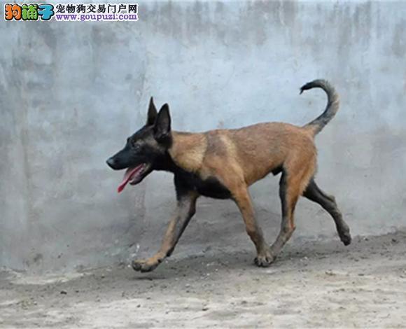 徐州哪里出售马犬多少钱一只幼犬弹跳高护卫犬警犬