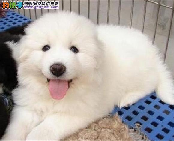 宁波出售纯种大白熊犬幼犬大骨架宁波大白熊多少钱
