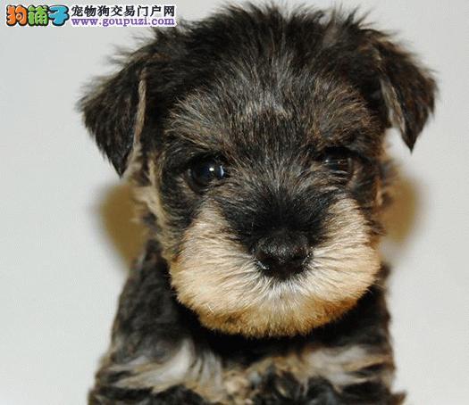 宁波哪里出售雪纳瑞犬幼犬老头狗雪纳瑞多少钱一只