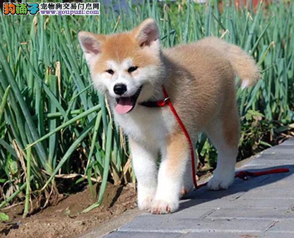 福州出售纯种秋田犬日系秋田幼犬忠犬八公赛级秋田犬