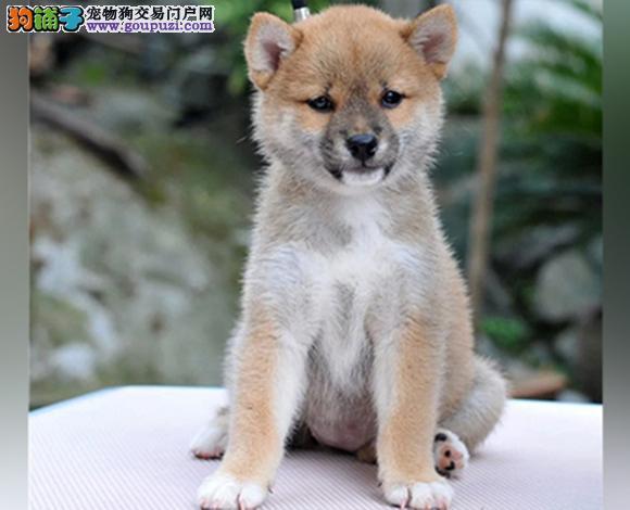 福州出售纯种柴犬日系柴犬幼犬赛级柴犬网红脸柴犬狗狗