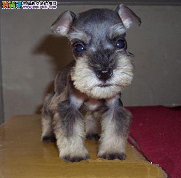 福州哪里出售雪纳瑞犬幼犬老头狗雪纳瑞多少钱一只