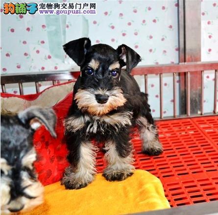 济南哪里出售雪纳瑞犬幼犬老头狗雪纳瑞多少钱一只