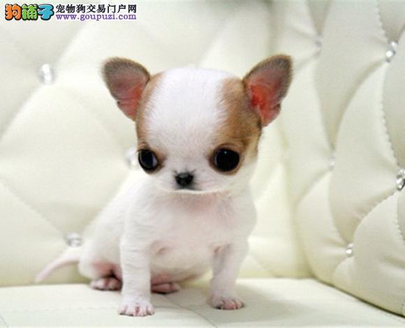 济南出售纯种吉娃娃幼犬苹果头大眼睛小体墨西哥吉娃娃