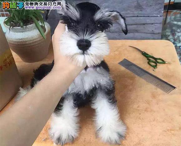 青岛哪里出售雪纳瑞犬幼犬老头狗雪纳瑞多少钱一只