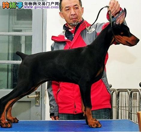 赣州出售纯种杜宾犬幼犬猛犬护卫犬赛级杜宾多少钱
