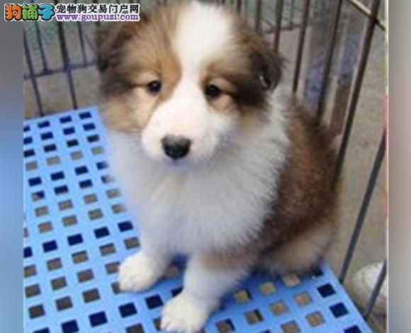 合肥哪里出售喜乐蒂犬幼犬多少钱一只 图片视频