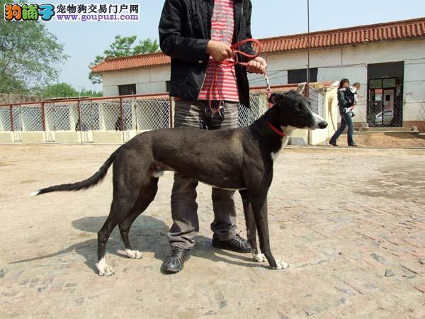 深圳出售格力犬幼犬惠比特犬灵缇犬猎兔犬细狗多少钱