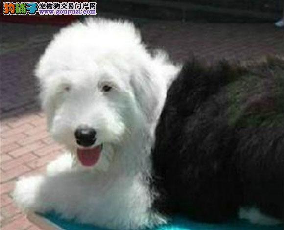 深圳出售纯种古牧幼犬白头齐肩通背四蹄踏雪纯种健康