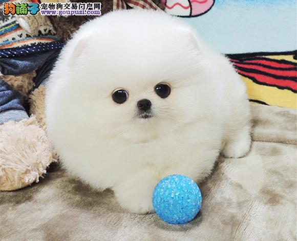深圳出售纯种博美犬博美幼犬哈多利球形博美俊介宝宝