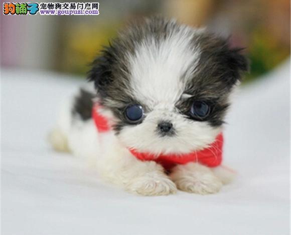 深圳出售纯种西施犬幼犬长毛犬贵族犬多少钱哪里买