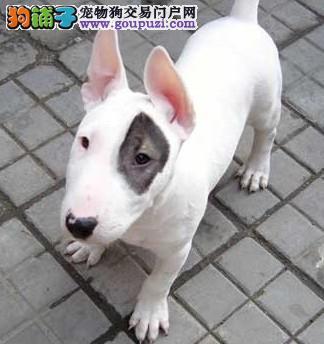 深圳出售纯种牛头梗海盗眼子弹头牛头梗犬多少钱