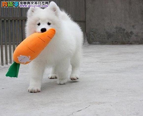 深圳出售纯种萨摩耶微笑天使萨摩耶幼犬澳版熊版萨摩耶