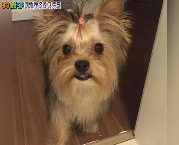深圳哪里出售约克夏犬幼犬多少钱一只 约克夏图片视频