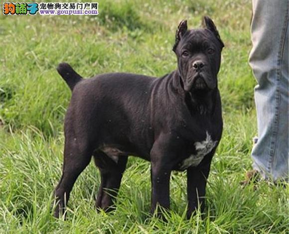 珠海出售纯种卡斯罗护卫犬卡斯罗犬幼犬霸气十足大骨架