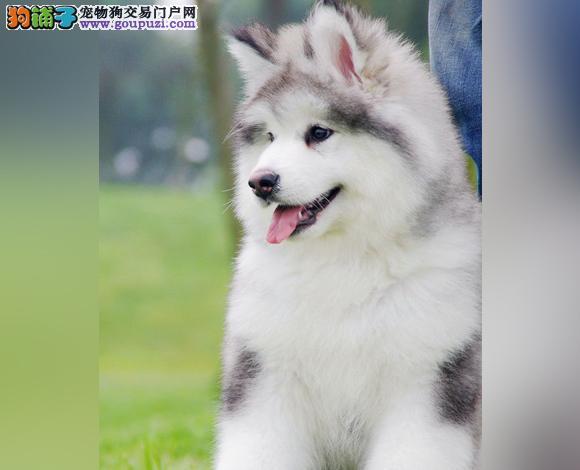 珠海哪里出售阿拉斯加幼犬熊版阿拉斯加多少钱一只