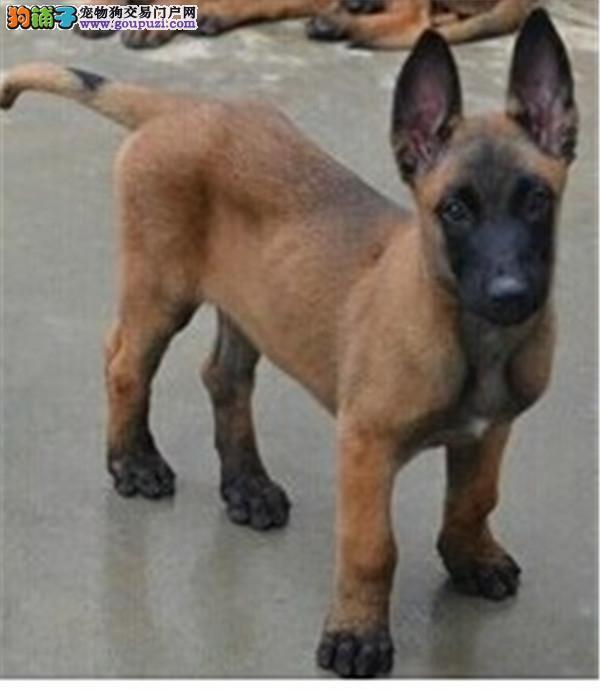 南宁出售纯种马犬幼犬弹跳高撕咬狠斗狗护卫犬警犬