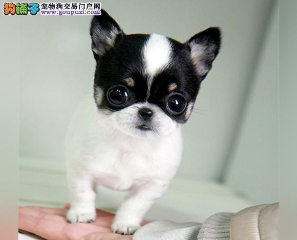 宜昌哪里出售吉娃娃幼犬大眼睛吉娃娃多少钱一只