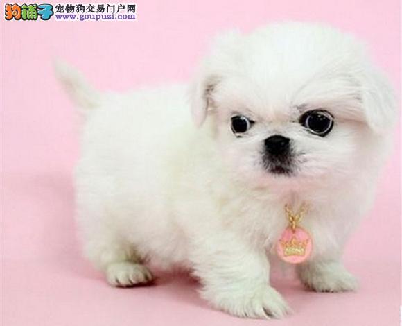 呼和浩特出售京巴犬幼犬高贵北京犬迷你京巴多少钱