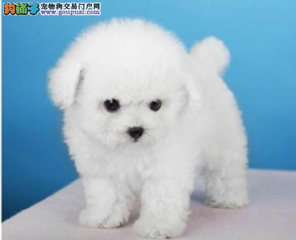 呼和浩特出售纯种泰迪贵宾犬幼犬娃娃脸泰迪茶杯犬