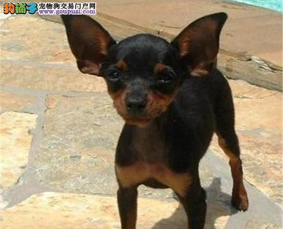 唐山出售纯种小鹿犬幼犬小体铁包金小鹿哪里买多少钱