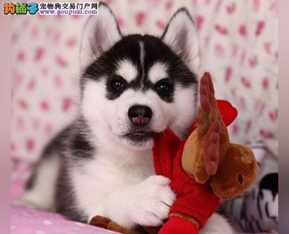 张家口哪里出售哈士奇多少钱一只二哈三火蓝眼雪橇犬2
