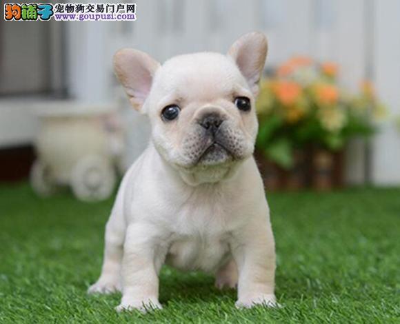 张家口出售纯种法国斗牛犬幼犬奶油血小短体斗牛犬